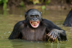 Smiling Bonobo in the water. Bonobo in the water with pleasure and smiles. Bonobo standing in pond looks for the fruit which fell in water. Bonobo Pan Stock Photography