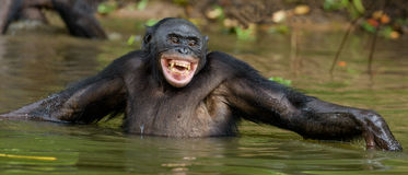 Smiling Bonobo in the water. Bonobo in the water with pleasure and smiles. Bonobo standing in pond looks for the fruit which fell in water. Bonobo Pan Royalty Free Stock Photography