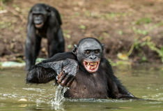 Smiling Bonobo in the water. Bonobo in the water with pleasure and smiles. Bonobo standing in pond looks for the fruit which fell in water. Bonobo Pan Royalty Free Stock Images