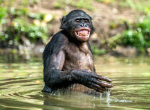 Smiling Bonobo in the water. Bonobo in the water with pleasure and smiles. Bonobo standing in pond looks for the fruit which fell in water. Bonobo Pan Stock Photos