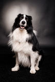 Smiling border collie stock images