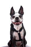 Smiling Boston Terrier on White Royalty Free Stock Images