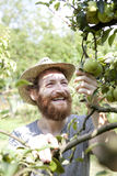 Smiling boy farmer who gathers pears from trees with straw hat and basket Stock Photography