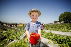 Boy holds Red Bucket of Strawberries in Sunny Strawberry Field. A smiling boy in a hat holds a red bucket filled to the brim with red, ripe strawberries. In the Stock Image