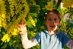 A smiling boy playing with yellow balls of Mimosa tree. South France holidays. Spring is coming. Early bloom.  stock photos