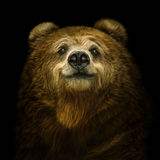 Smiling brown bear. Smiling bear on a black background Royalty Free Stock Photo