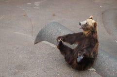 Smiling brown bear. In funny posture in Hokkaido,Japan Royalty Free Stock Image