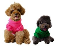 A smiling brown and black poodle dog wearing t-shirt and sitting together. stock photo