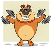 Smiling Brown Bulldog Cartoon Mascot Character With Sunglasses Working Out With Dumbbells Stock Images