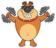 Smiling Brown Bulldog Cartoon Mascot Character With Sunglasses Working Out With Dumbbells Stock Image