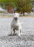 Smiling bull terrier getting hit with water Stock Image