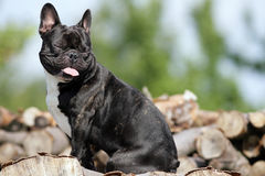 Smiling bulldog Royalty Free Stock Images