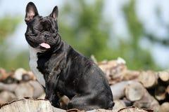 Smiling Bulldog Royalty Free Stock Images