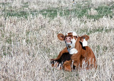 Smiling Calf Royalty Free Stock Image