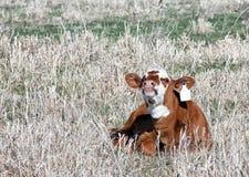 Smiling Calf Royalty Free Stock Image