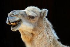 Smiling camel. Camel smiling with black background Stock Photography