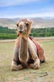 Smiling camel. Camel opened mouth as if it smiles royalty free stock photo