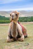 Smiling camel Royalty Free Stock Photo