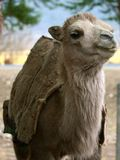 Smiling camel Royalty Free Stock Images
