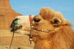 Smiling camel Royalty Free Stock Photo