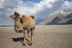 Smiling camel on the desert. Stock Photo