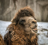 Smiling Camel Face. Shot of a smiling camel with his furry face and crooked teeth Royalty Free Stock Image