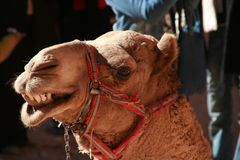 Smiling camel. Stock Image