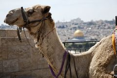 Camel and Dome of the Rock. A smiling camel in Jerusalem, resting at a Mount of Olives viewpoint on the old city of Jerusalem. In the background, defocused, is Stock Photography