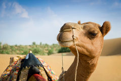 Smiling camel looking in lens. Soft focus Royalty Free Stock Images