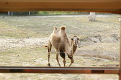 Smiling camel. Looks at the people riding the bus Royalty Free Stock Image
