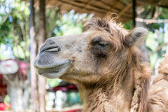 Smiling camel Stock Photo