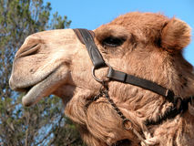 Smiling camel ready for a ride. Camel waiting to take his next group of passengers for a ride Stock Image