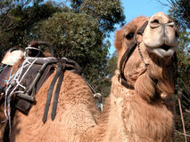 Smiling camel ready for a ride. Camel waiting to take his next group of passengers for a ride Royalty Free Stock Photography