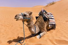 Smiling Camel in Sahara Desert, Tunisia royalty free stock photography