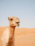 Smiling camel in Wahiba desert, Oman Royalty Free Stock Photography