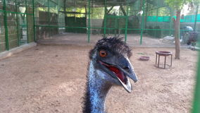 A smiling Cassowary Stock Photography