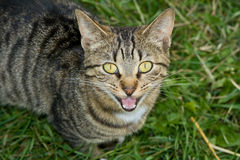Smiling cat. Royalty Free Stock Photography