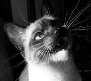Smiling Cat. A beautiful colourpoint cat open mouthed and looking like she's smiling . In black and white Stock Images