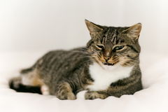 Smiling cat. Tabby cat smiles for the camera Stock Image