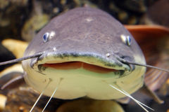 Smiling catfish Stock Photo