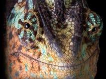 Smiling Chameleon royalty free stock photo