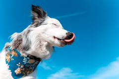 Smiling charming adorable border collie with blue bandana lick his nose. outdoors portrait on summer time with. Background of blue sky and way of airplane royalty free stock images