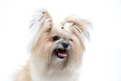 Smiling charmingly Spitz Stock Photo