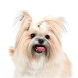 Smiling charmingly Spitz Royalty Free Stock Photography