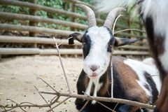 Smiling cheerful goat on the farm closeup. In the zoo Stock Photo