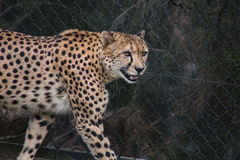 Smiling Cheetah. A dangerous smile from a wandering cheetah Stock Image