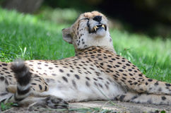 Smiling cheetah Royalty Free Stock Photography