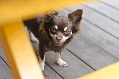 Smiling chihuahua Royalty Free Stock Photo
