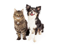 Smiling Chihuahua Mixed Breed Dog and Cat Together. A cute domestic medium hair tabby cat sitting next to a happy longhair Chihuahua mixed breed dog Stock Photos