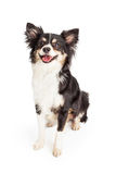Smiling Chihuahua Mixed Breed Dog Sitting Stock Photography
